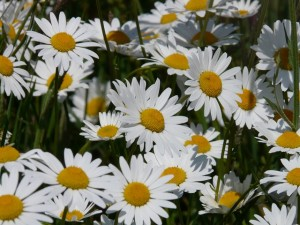 Feverfew tip to relieve migraine attack
