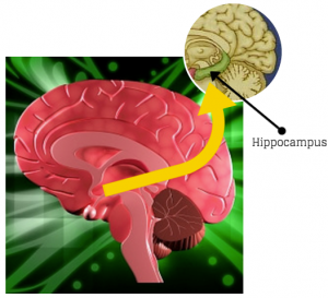 memory problems brisbane hippocampus
