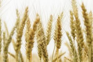 heavy metals wheat alternative medicine practitioners brisbane
