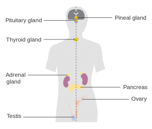 adrenals-thyroid-diagram-beyondgoodhealth